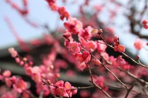 大阪天満宮 - 境内の梅