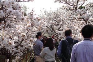 仁和寺 - 桜のトンネル