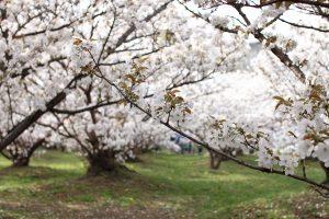 仁和寺 - 桜