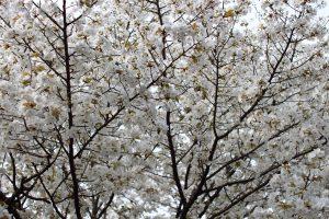 仁和寺 - 桜の壁
