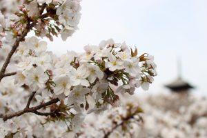 仁和寺 - 桜アップ