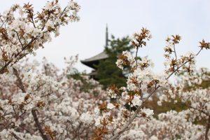 仁和寺 - 桜越しの五重塔
