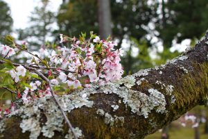 仁和寺 - 桜と苔