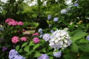 矢田寺 - 紫陽花