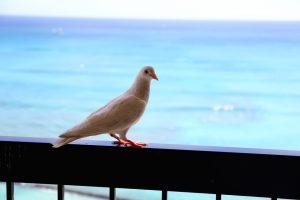 ラナイに来た鳥