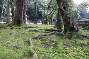 出雲大社 - 苔生した木々