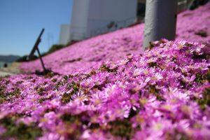 アルカトラズ 花